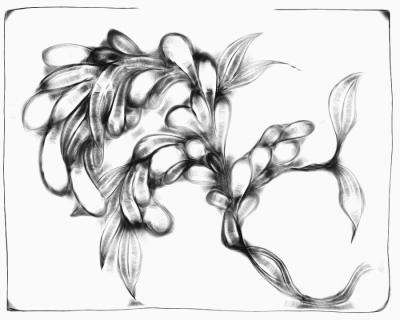 seaweed irygr