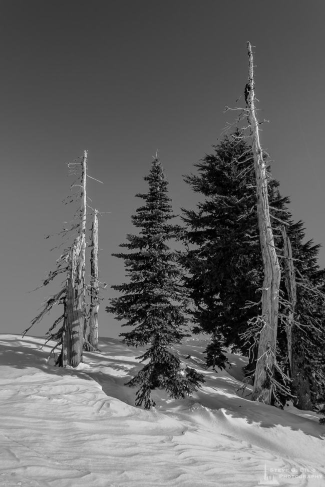 A black and white photograph of alpine trees on a sunny Winter day in the Paradise area of Mount Rainier National Park, Washington.