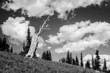 A black and white landscape photograph of a silver snag in the alpine meadows near the Sunrise Visitors Center at Mount Rainier National Park, Washington.