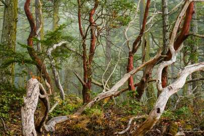 A nature photograph of the forest on a foggy summer morning at Deception Pass State Park, Washington.