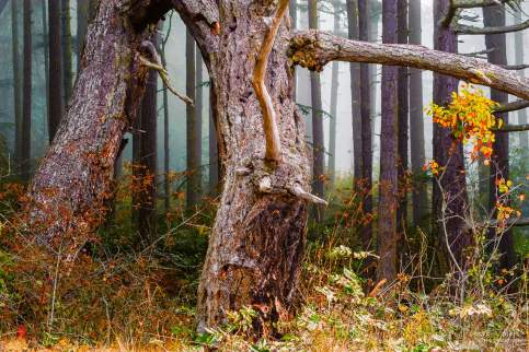 A photograph of an old snag in the forest on a misty summer day at Deception Pass State Park, Washington.