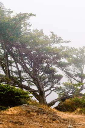 A photograph of a tree on the edge of a rocky cliff on a foggy summer day at Deception Pass State Park, Washington.