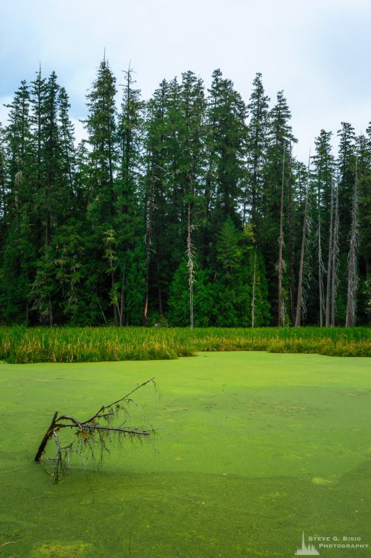A landscape photograph of an algae covered beaver pond along Woods Creek in the Gifford Pinchot National Forest near Randle, Washington.