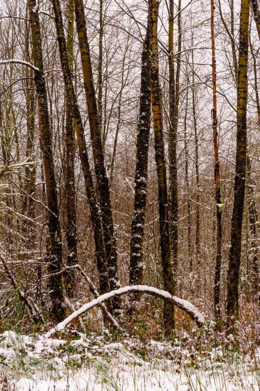 A nature photograph of the deciduous forest after a late autumn snowfall at Rasar State Park, in Skagit County near Hamilton, Washington.