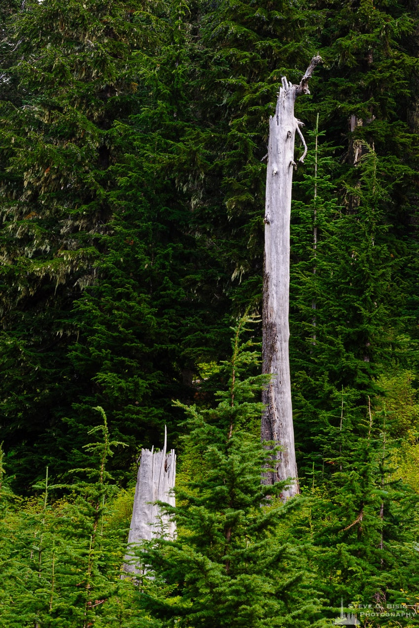 Old Snag Along Forest Road 5230, Lewis County, Washington, 2016