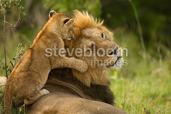Male black maned Lion resting with cubs playing Lower