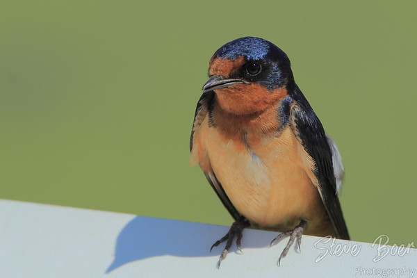 Barn Swallow closeup