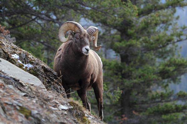 Bighorn Sheep on Mountainside