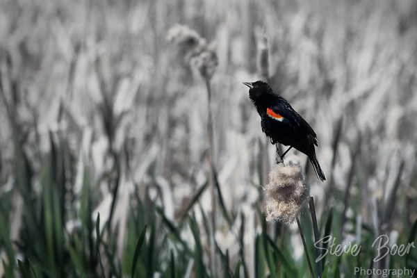 Redwing Blackbird - partial b&w conversion with select colors