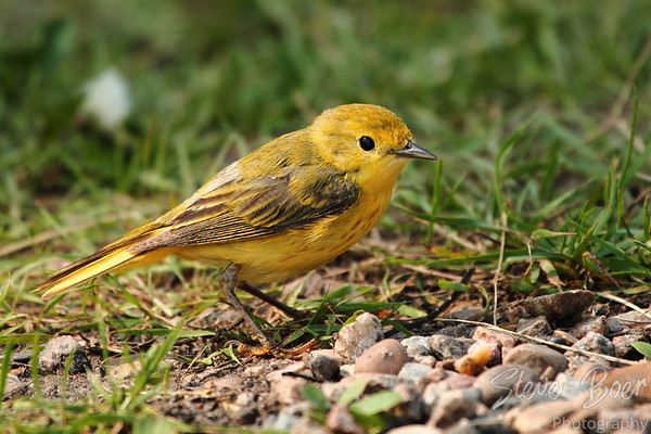 Yellow Warbler (Setophaga petechia)