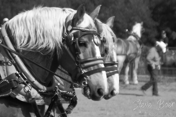 Horse team with cowboy B&W