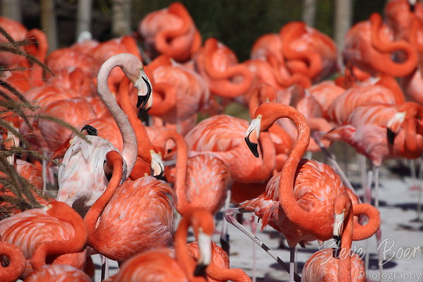 Flamingos At Sea World in San Diego