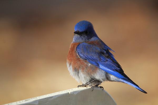 Pudgy Bluebird