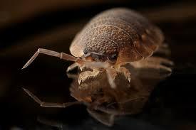 bedbug 12