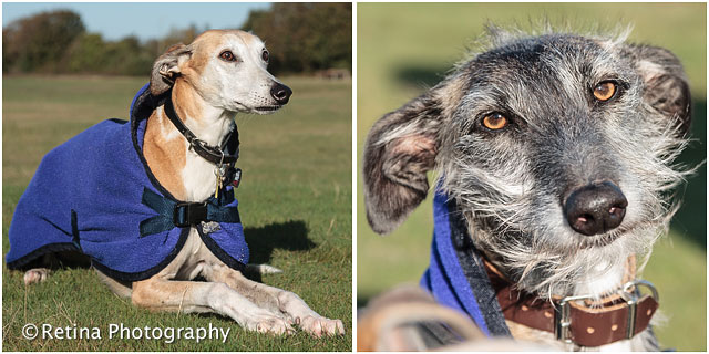 Long And Short Haired Lurcher Dogs