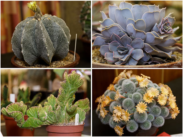 Four Examples Of Cacti And Succulents From The Portsmouth Branch British Cactus And Succulent Society Show 2014 02