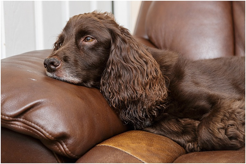 Spaniel dog on sofa