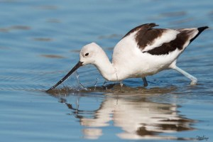 American Avocet, (c) Photo by Steve Kaye