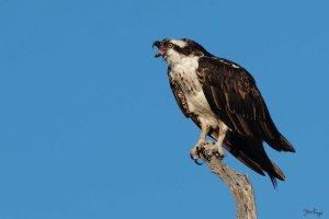 Osprey, (c) Photo by Steve Kaye