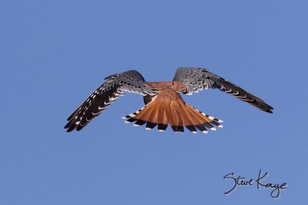 American Kestrel, Male, Flying Away, (c) Photo by Steve Kaye