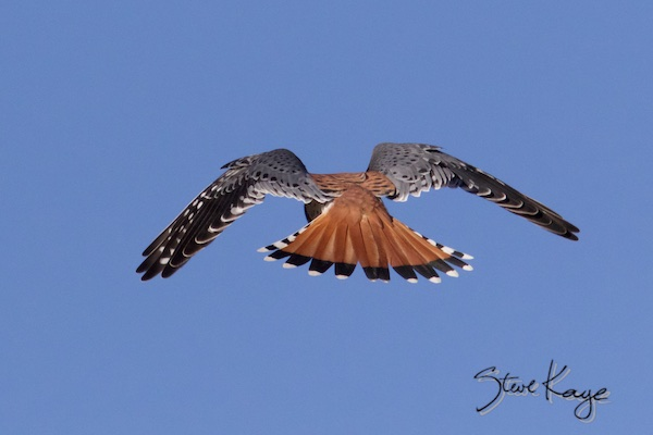 American Kestrel, Male, Flying Away, (c) Photo by Steve Kaye, in blog post - Nice Tail
