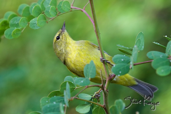 Orange-crowned Warbler, (c) Photo by Steve Kaye