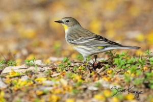 Yellow-Romped Warbler, (c) Photo by Steve Kaye