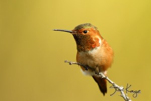 Allen's Hummingbird, Male, (c) Photo by Steve Kaye