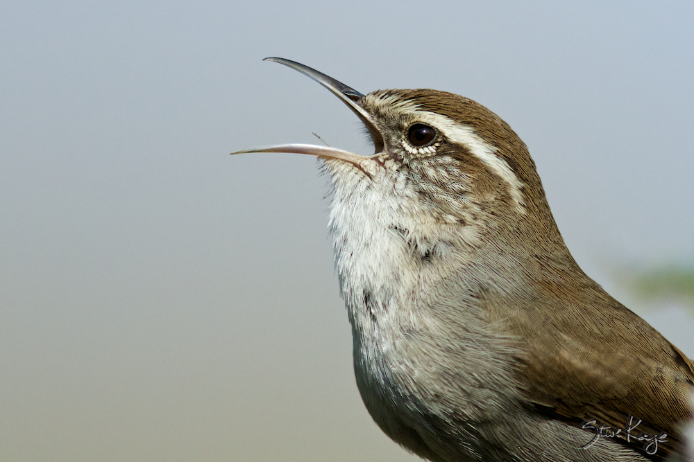 Bewick's Wren Singing, Photo by Steve Kaye