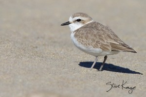 Snowy Plover, Female, (c) Photo by Steve Kaye