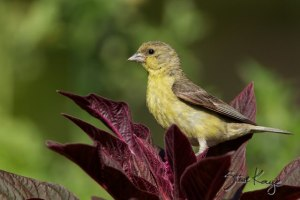Lesser Goldfinch, Female, (c) Photo by Steve Kaye