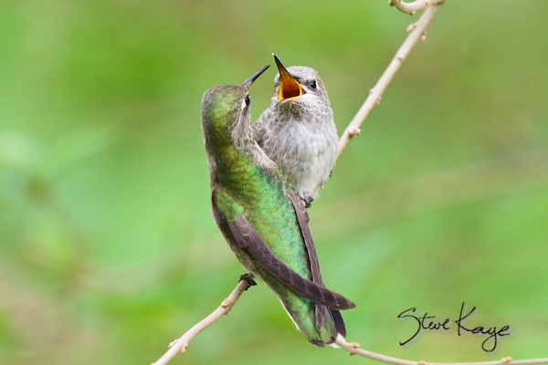 Anna's Hummingbird Adult Female and Juvenile, (c) Photo by Steve Kaye, in photo article: Hummingbird Photos