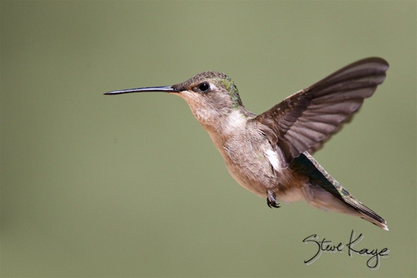 Black-chinned Hummingbird, Female, (c) Photo by Steve Kaye, in photo article: Hummingbird Photos