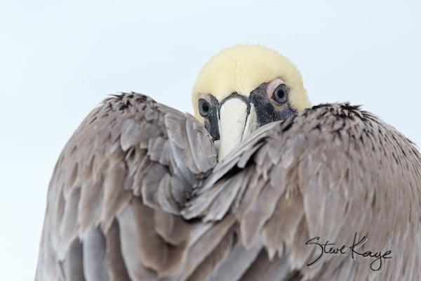 Brown Pelican, (c) Photo by Steve Kaye