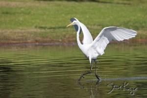 Great Egret, (c) Photo by Steve Kaye
