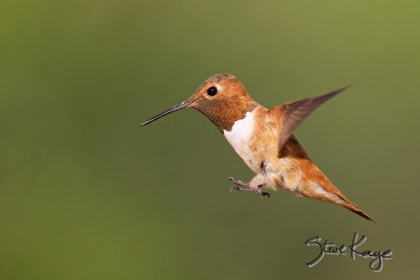 Rufous Hummingbird, Male, (c) Photo by Steve Kaye, in photo article: Hummingbird Photos