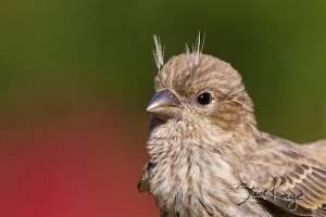 House Finch, Juvenile, (c) Photo by Steve Kaye