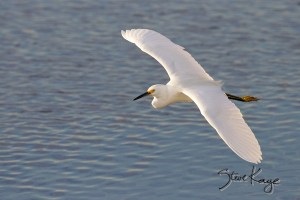 Snowy Egret, Flying, (c) Photo by Steve Kaye