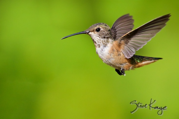 Allen's Hummingbird, © Photo by Steve Kaye, in photo article: Watchlist Birds