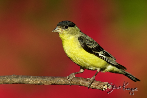 Lesser Goldfinch, Male, © Photo by Steve Kaye