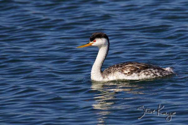 Clark's Grebe, © Photo by Steve Kaye, in photo article: Watchlist Birds