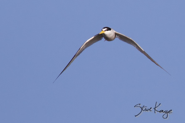 Least Tern, © Photo by Steve Kaye, in photo article: Watchlist Birds