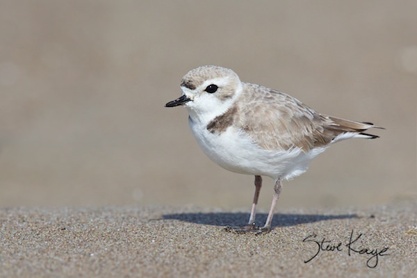 Snowy Plover, Female, (c) Photo by Steve Kaye, in photo article: Watchlist Birds