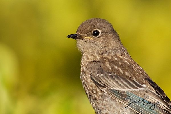 "Western Bluebird, Juvenile, © Photo by Steve Kaye, in ""3 Things to Do Everyday - Ideas for Your To Do List """