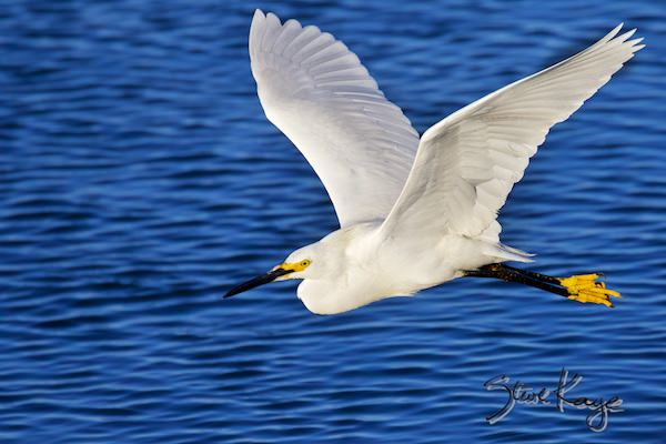 Snowy Egret, © Photo by Steve Kaye, in Mission & Values