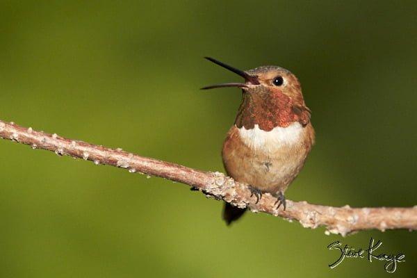Allen's Hummingbird, Male, © Photo by Steve Kaye, in Post: Uncommon Hummingbird Photos