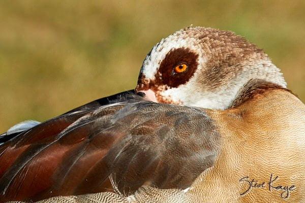Egyptian Goose, Female, © Photo by Steve Kaye