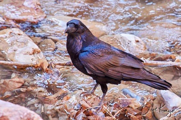 Common Raven, © Photo by Steve Kaye