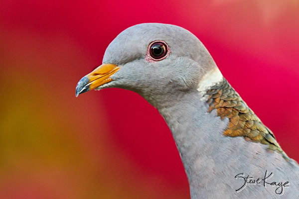 Band-tailed Pigeon, © Photo by Steve Kaye