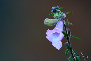 South African Foxglove, (c) Photo by Steve Kaye